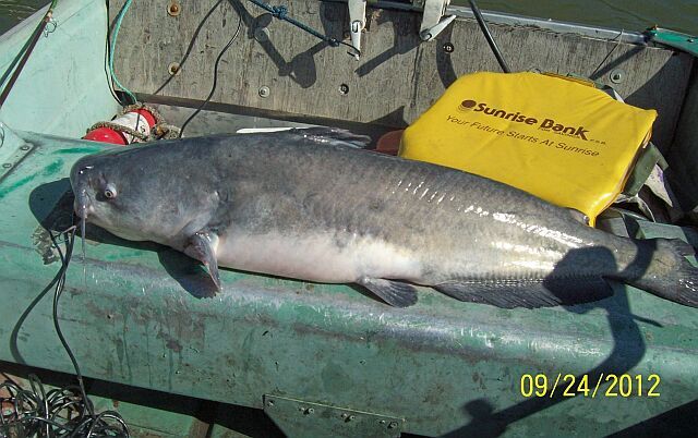 MY 20 3/4 pound  37 inch BLUECAT last catfish of this trip Sept. 24 th.2012!